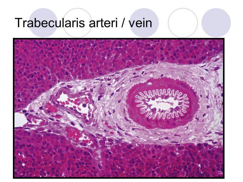 Trabecularis arteri / vein