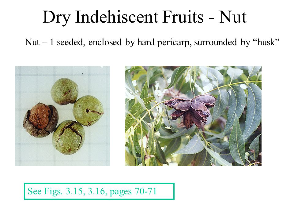"""Dry Indehiscent Fruits - Nut Nut – 1 seeded, enclosed by hard pericarp, surrounded by """"husk"""" See Figs. 3.15, 3.16, pages 70-71"""