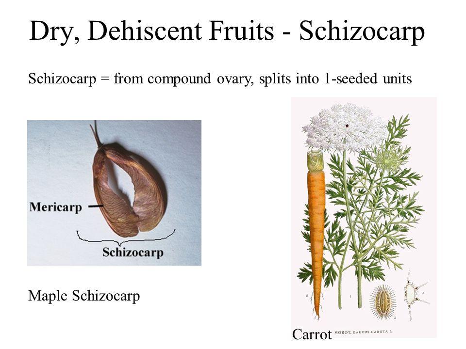 Dry, Dehiscent Fruits - Schizocarp Schizocarp = from compound ovary, splits into 1-seeded units Maple Schizocarp Carrot