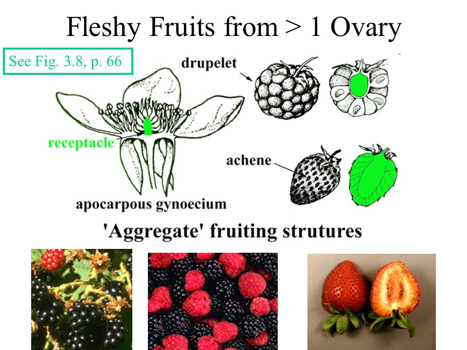 Fleshy Fruits from > 1 Ovary See Fig. 3.8, p. 66