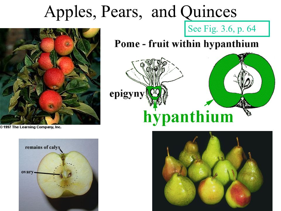 Apples, Pears, and Quinces See Fig. 3.6, p. 64