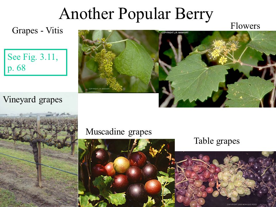Another Popular Berry Grapes - Vitis Vineyard grapes Muscadine grapes Table grapes Flowers See Fig. 3.11, p. 68