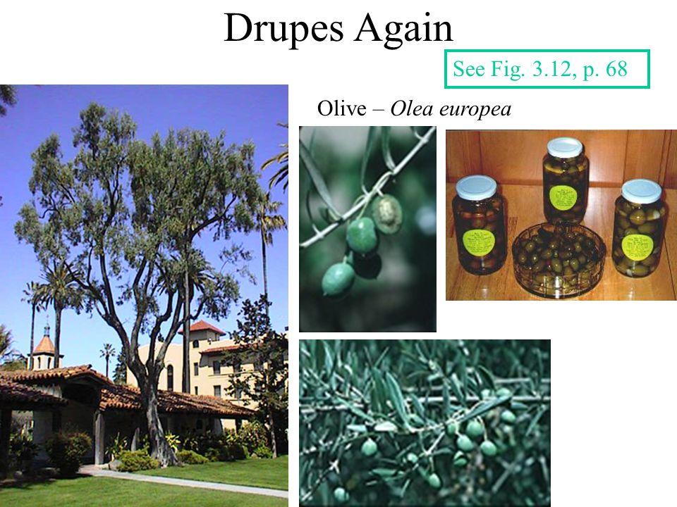Drupes Again Olive – Olea europea See Fig. 3.12, p. 68