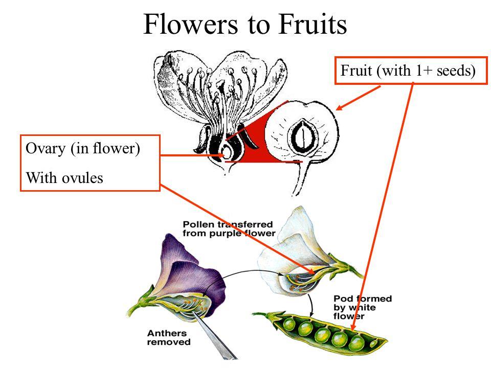 Fruit Types Major Distinctions: - dry vs.fleshy See Table 3.1, p.
