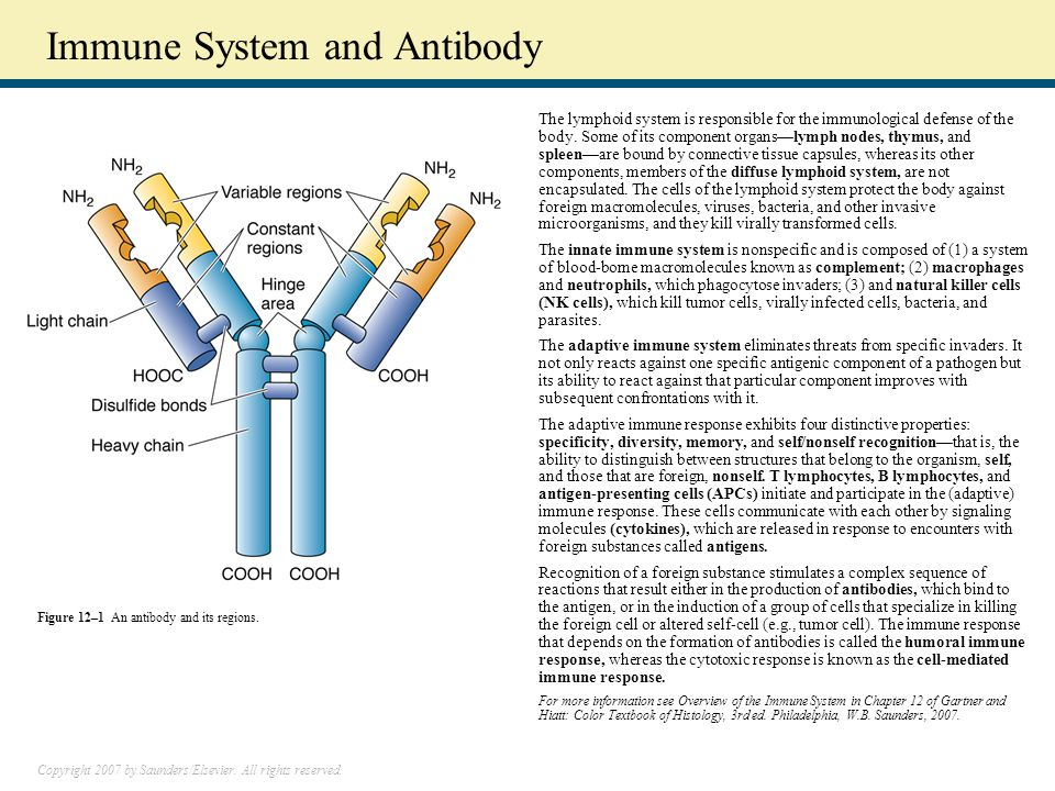 Immune System and Antibody The lymphoid system is responsible for the immunological defense of the body.