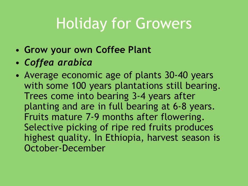 Holiday for Growers Grow your own Coffee Plant Coffea arabica Average economic age of plants 30-40 years with some 100 years plantations still bearing.