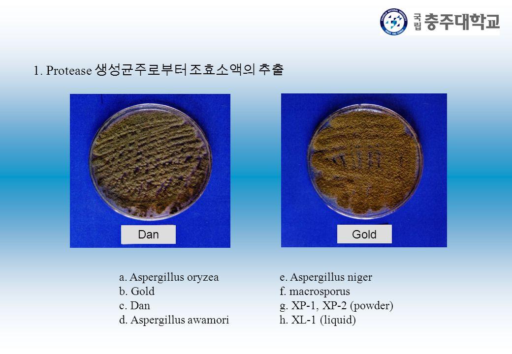 1. Protease 생성균주로부터 조효소액의 추출 a. Aspergillus oryzea b. Gold c. Dan d. Aspergillus awamori e. Aspergillus niger f. macrosporus g. XP-1, XP-2 (powder) h.