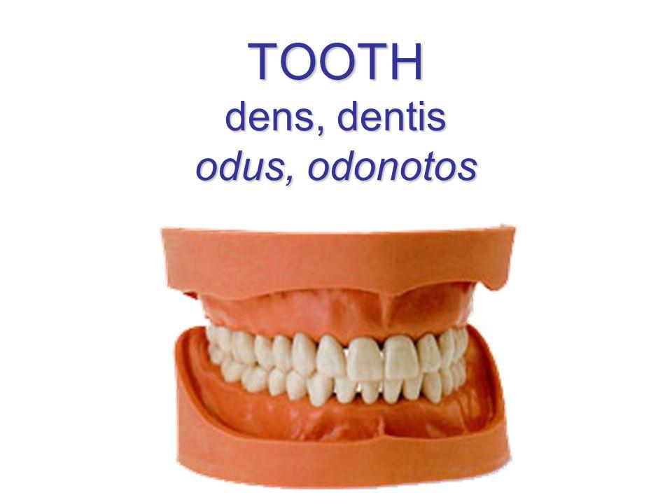 TOOTH dens, dentis odus, odonotos