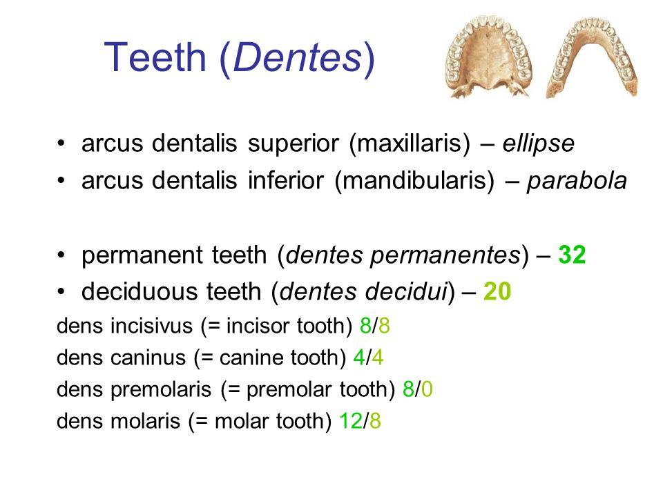 Teeth (Dentes) arcus dentalis superior (maxillaris) – ellipse arcus dentalis inferior (mandibularis) – parabola permanent teeth (dentes permanentes) –