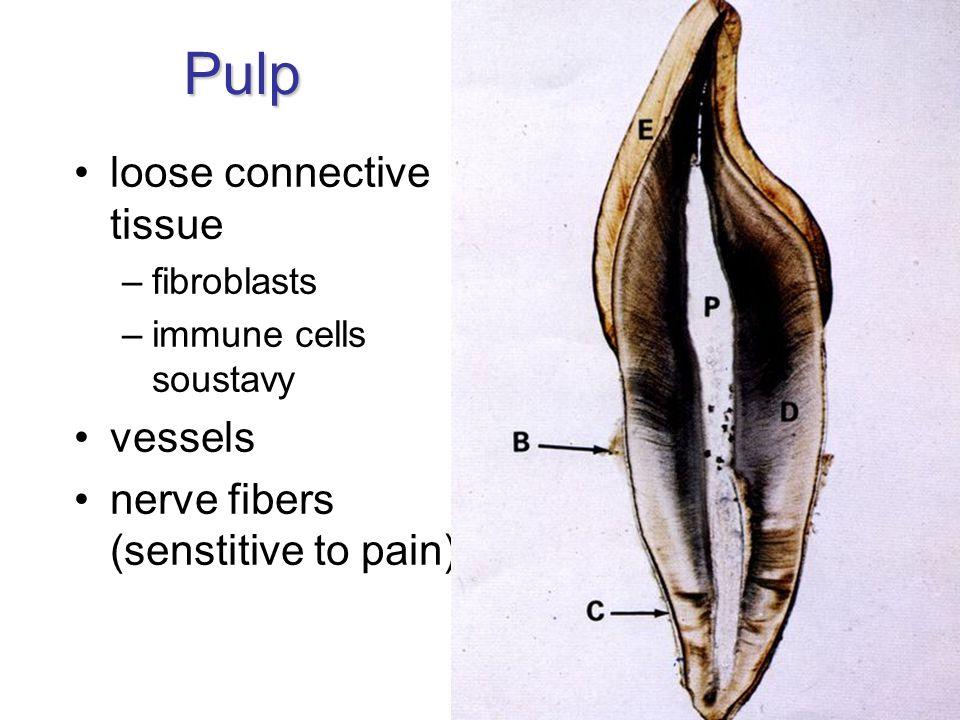 Pulp loose connective tissue –fibroblasts –immune cells soustavy vessels nerve fibers (senstitive to pain)