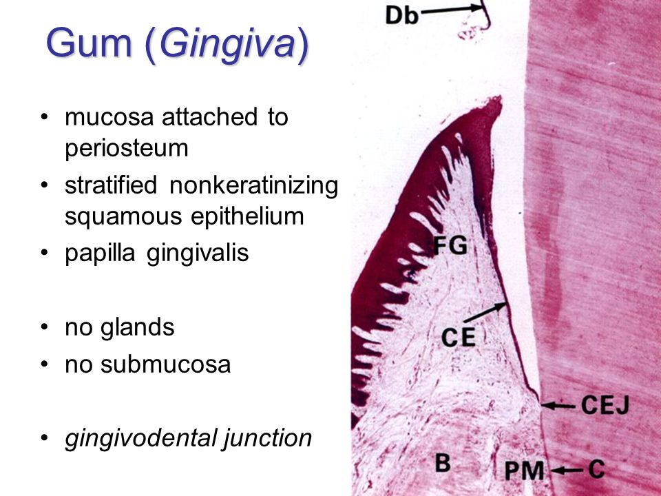 Gum (Gingiva) mucosa attached to periosteum stratified nonkeratinizing squamous epithelium papilla gingivalis no glands no submucosa gingivodental jun