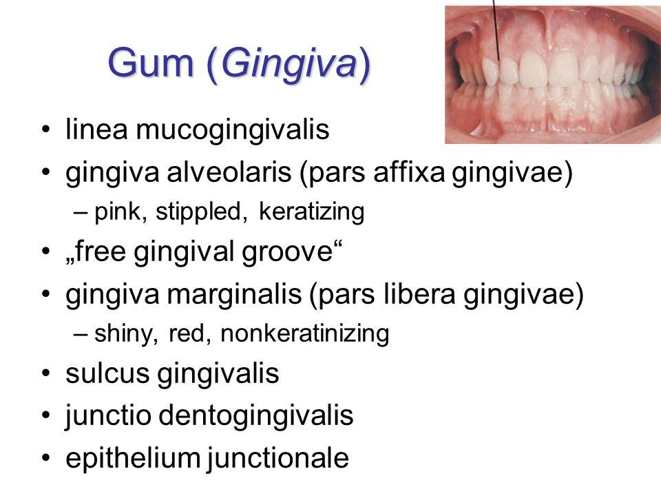 """Gum (Gingiva) linea mucogingivalis gingiva alveolaris (pars affixa gingivae) –pink, stippled, keratizing """"free gingival groove"""" gingiva marginalis (pa"""
