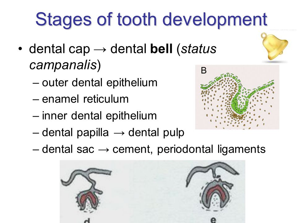 Stages of tooth development dental cap → dental bell (status campanalis) –outer dental epithelium –enamel reticulum –inner dental epithelium –dental papilla → dental pulp –dental sac → cement, periodontal ligaments