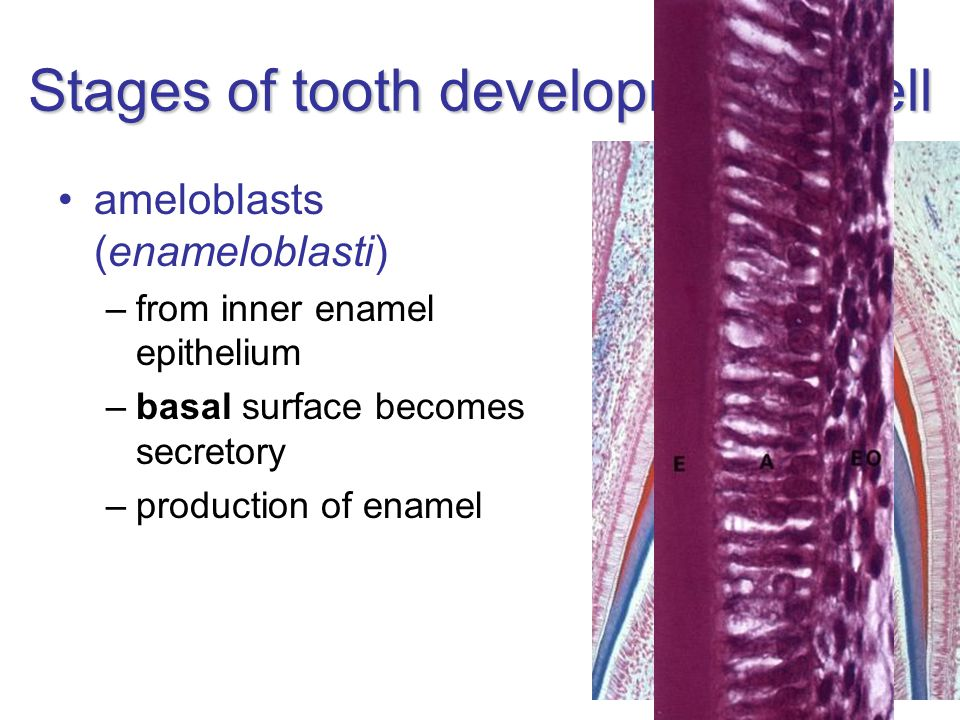 Stages of tooth development – bell ameloblasts (enameloblasti) –from inner enamel epithelium –basal surface becomes secretory –production of enamel