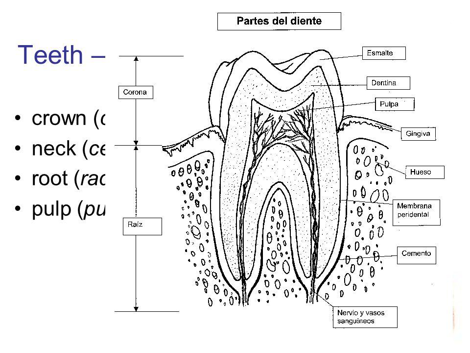 Teeth – parts crown (corona) neck (cervix) root (radix) pulp (pulpa)