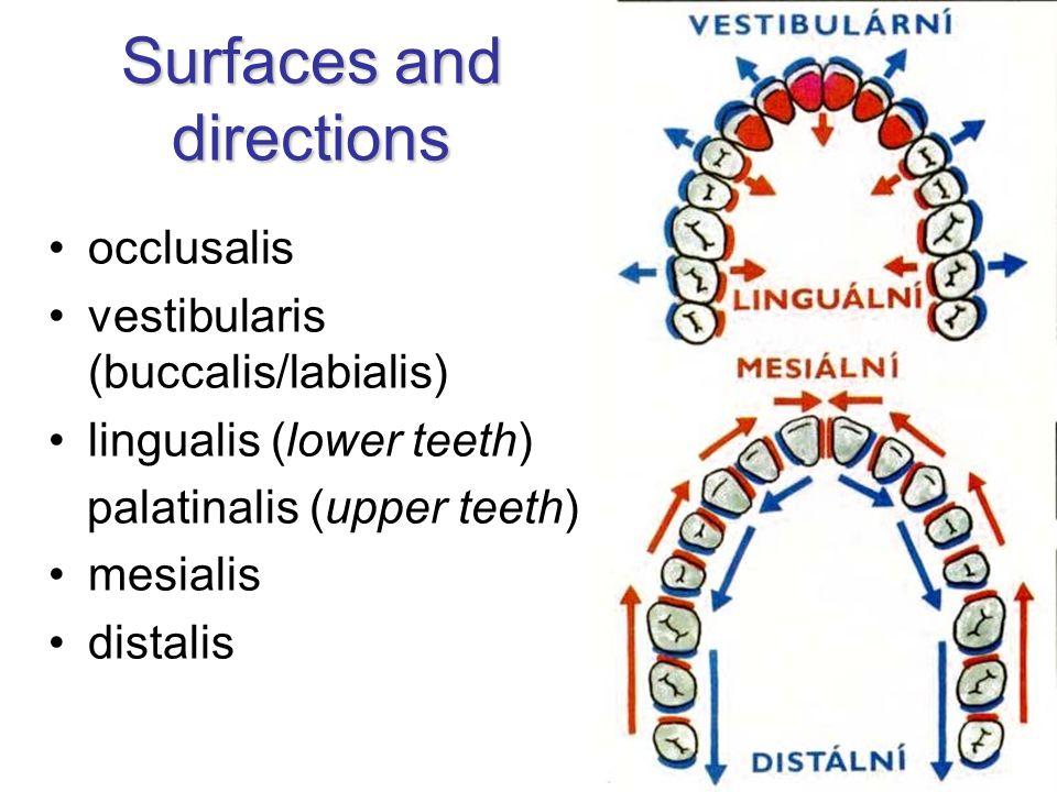Surfaces and directions occlusalis vestibularis (buccalis/labialis) lingualis (lower teeth) palatinalis (upper teeth) mesialis distalis