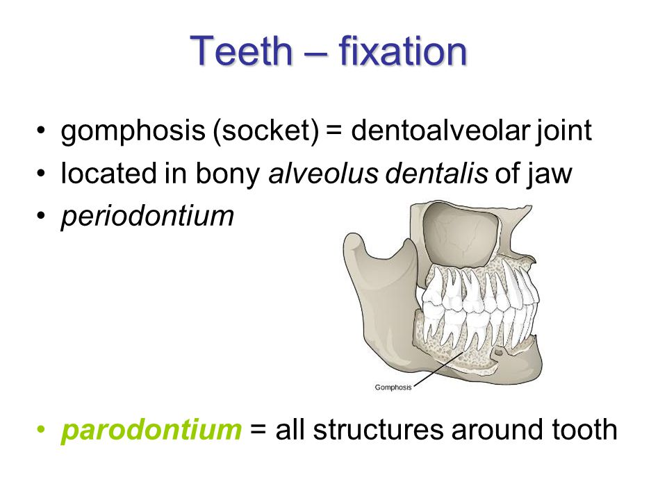 Teeth – fixation gomphosis (socket) = dentoalveolar joint located in bony alveolus dentalis of jaw periodontium parodontium = all structures around tooth