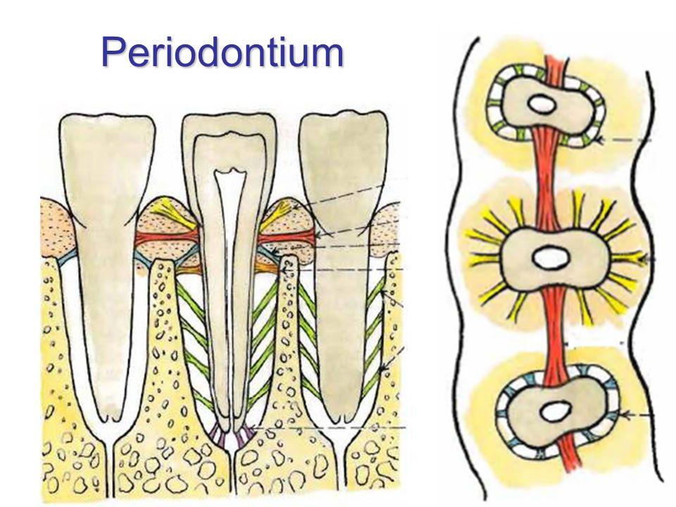 Periodontium