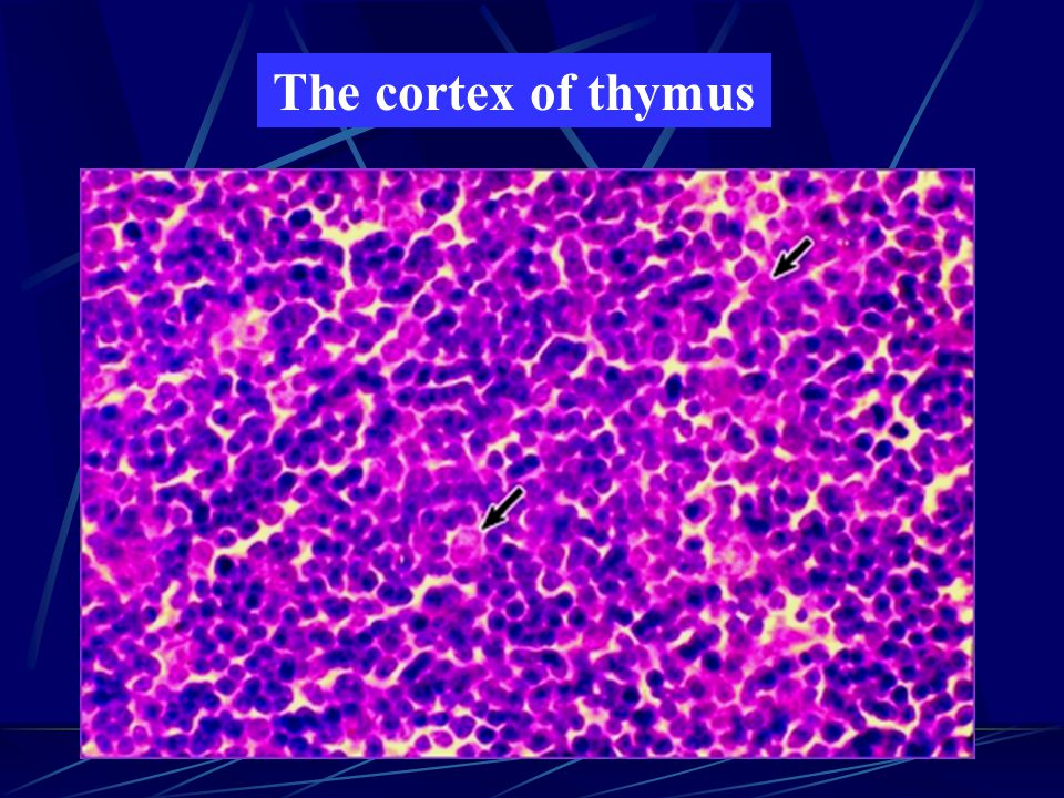 The cortex of thymus