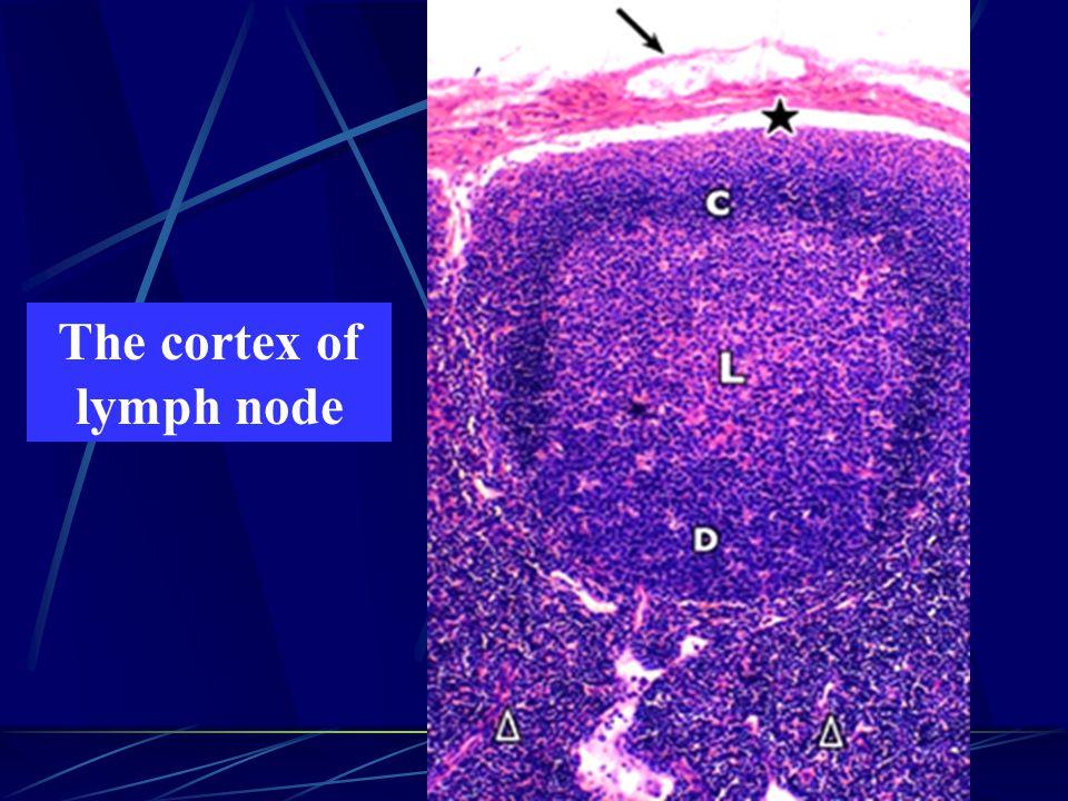 The cortex of lymph node