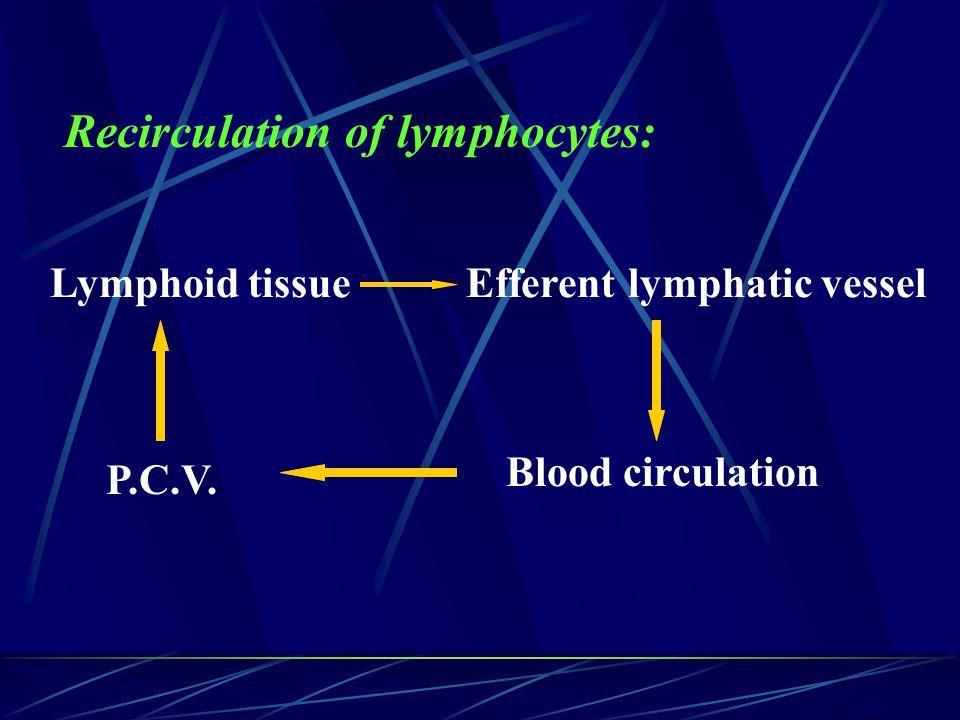 Recirculation of lymphocytes: Lymphoid tissueEfferent lymphatic vessel P.C.V. Blood circulation