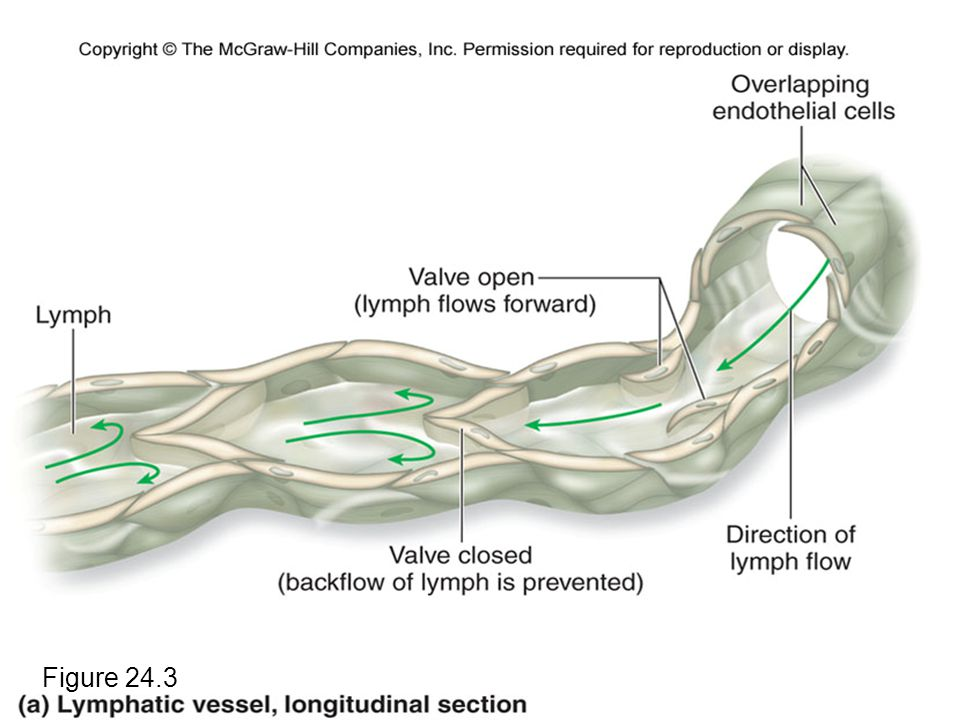 Lymphatic Vessels and Valves Figure 24.3