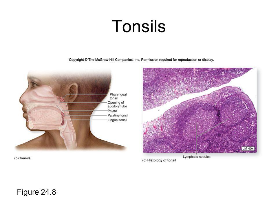 Tonsils Figure 24.8