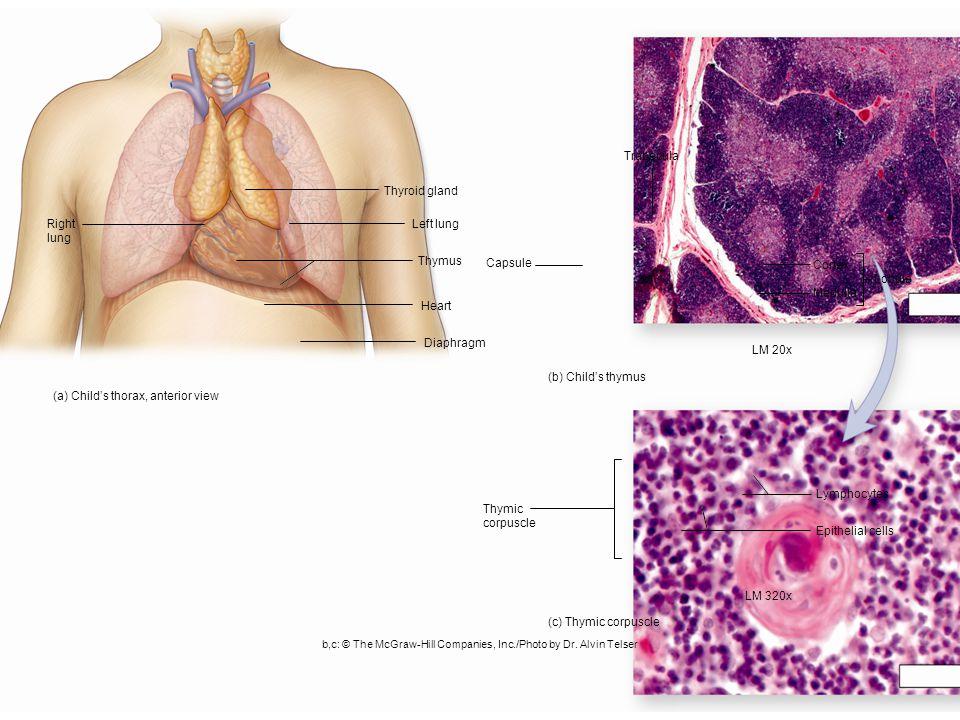 Thymus Figure 24.9 Copyright © The McGraw-Hill Companies, Inc.