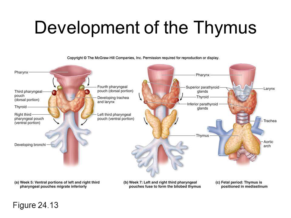 Development of the Thymus Figure 24.13