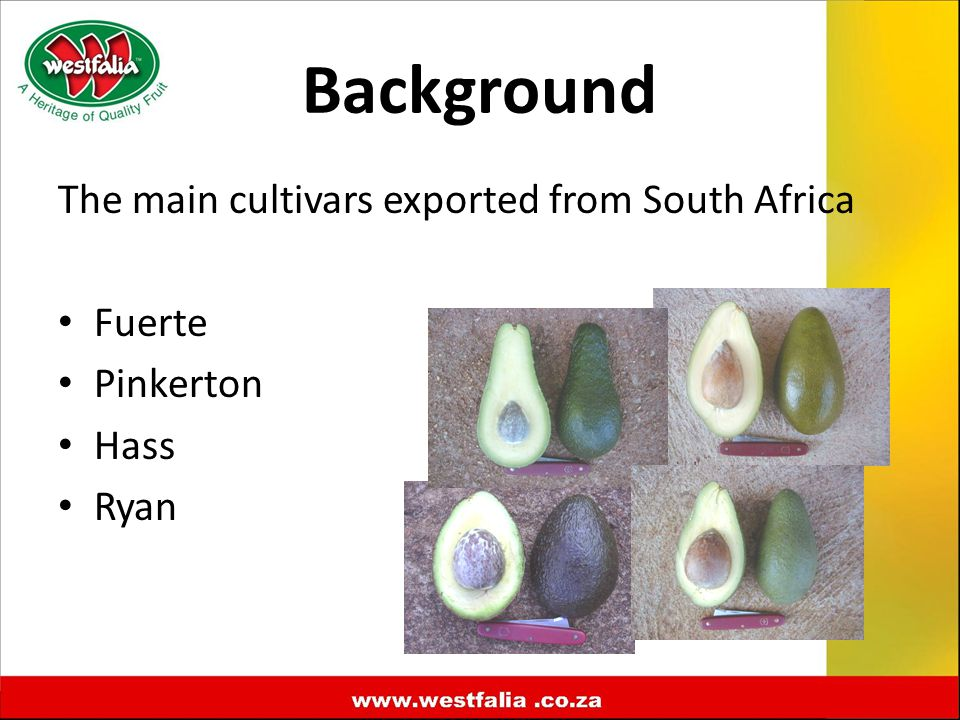 The main cultivars exported from South Africa Fuerte Pinkerton Hass Ryan Background