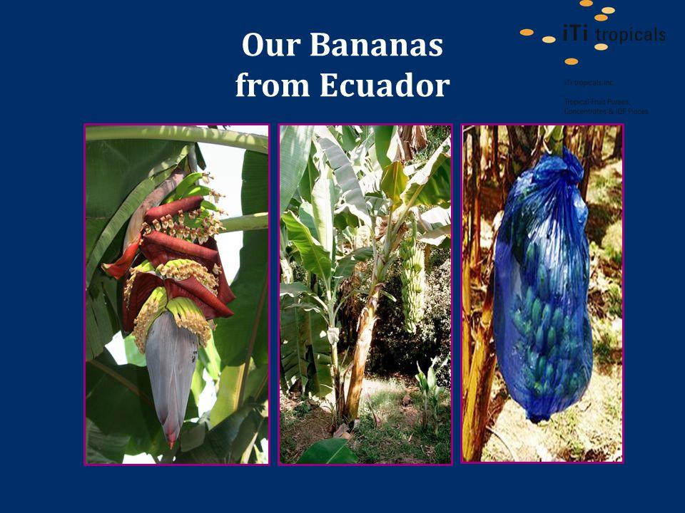 Our Bananas from Ecuador