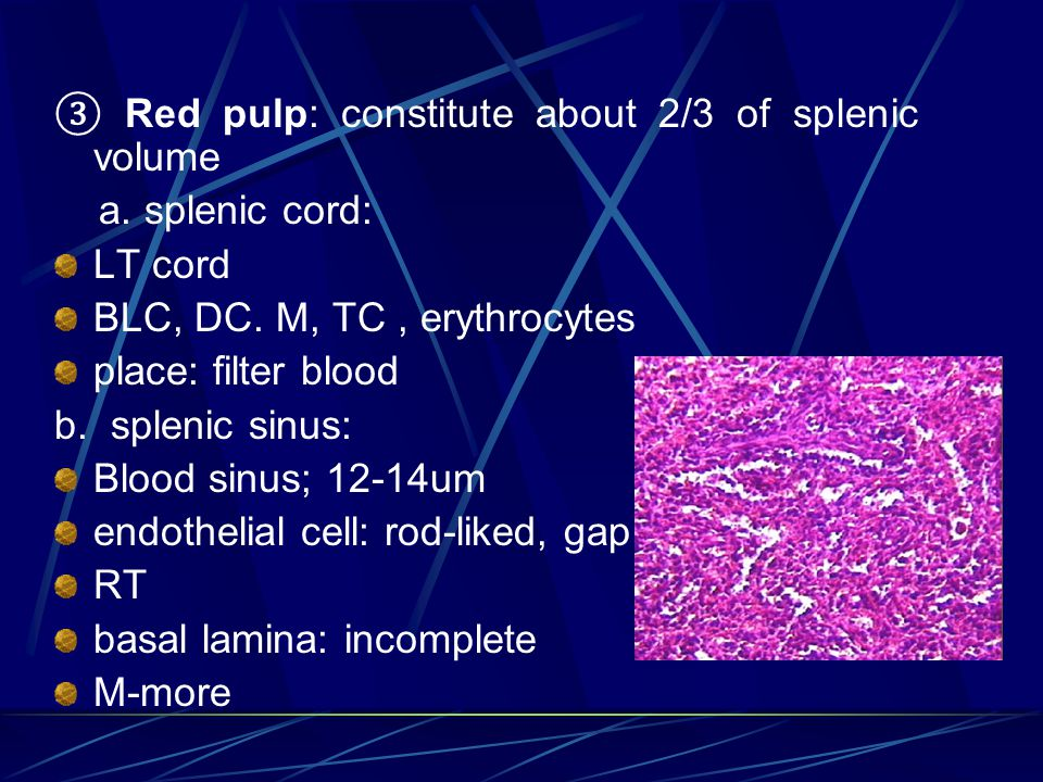 ③ Red pulp: constitute about 2/3 of splenic volume a. splenic cord: LT cord BLC, DC. M, TC, erythrocytes place: filter blood b. splenic sinus: Blood s