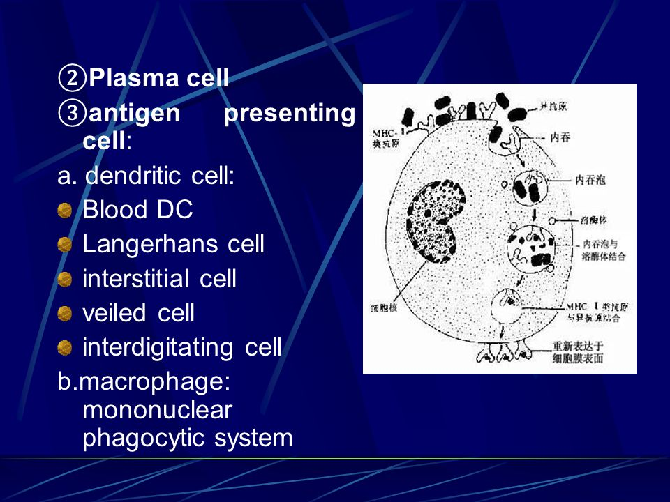 ② Plasma cell ③ antigen presenting cell: a. dendritic cell: Blood DC Langerhans cell interstitial cell veiled cell interdigitating cell b.macrophage: