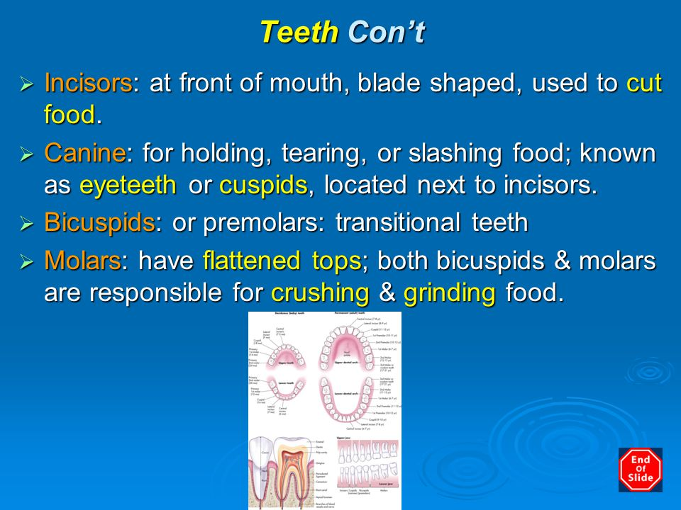 Teeth Con't  Incisors: at front of mouth, blade shaped, used to cut food.  Canine: for holding, tearing, or slashing food; known as eyeteeth or cusp