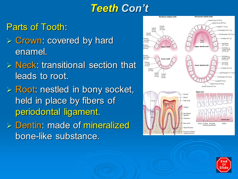 Teeth Con't Parts of Tooth:  Crown: covered by hard enamel.  Neck: transitional section that leads to root.  Root: nestled in bony socket, held in