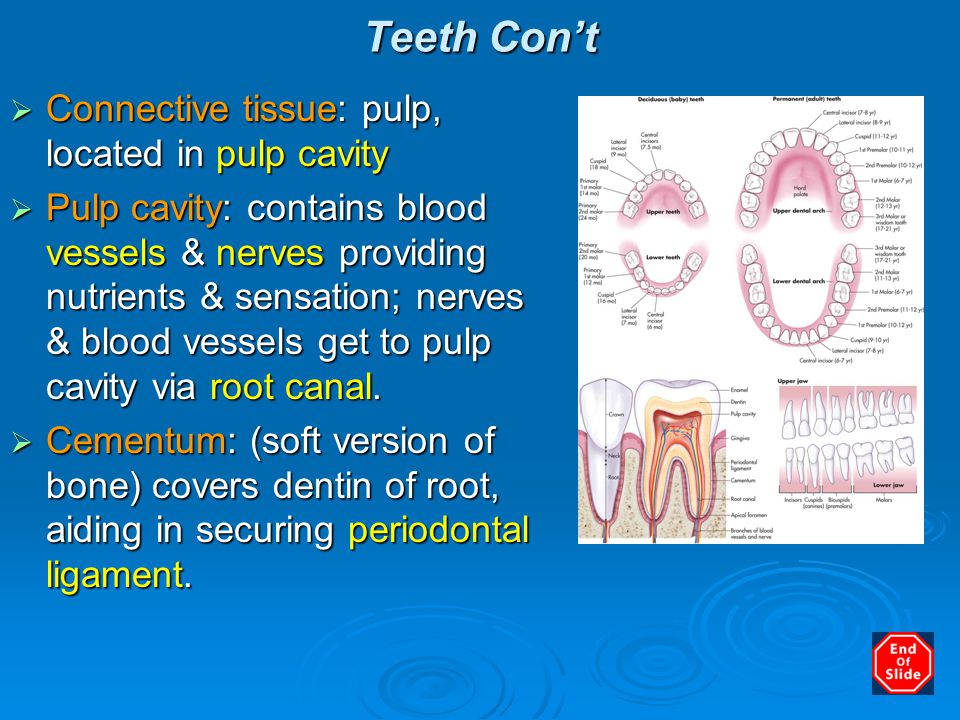 Teeth Con't  Connective tissue: pulp, located in pulp cavity  Pulp cavity: contains blood vessels & nerves providing nutrients & sensation; nerves &