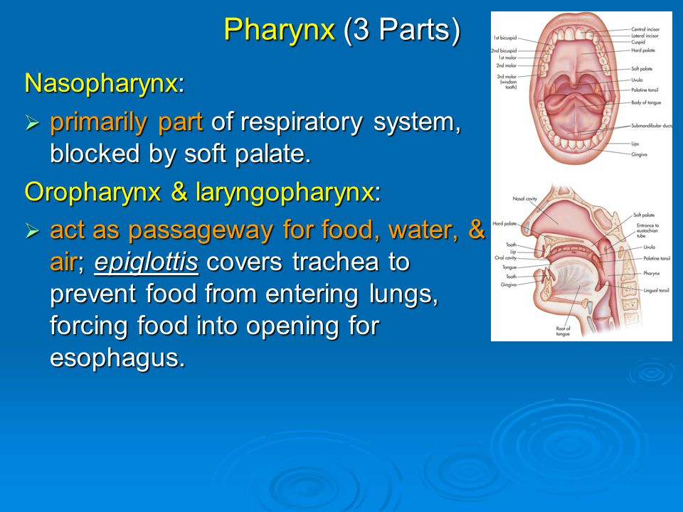 Pharynx (3 Parts) Nasopharynx:  primarily part of respiratory system, blocked by soft palate. Oropharynx & laryngopharynx:  act as passageway for fo