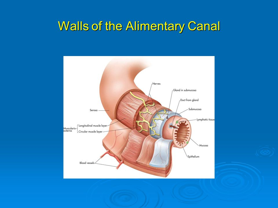 Walls of the Alimentary Canal