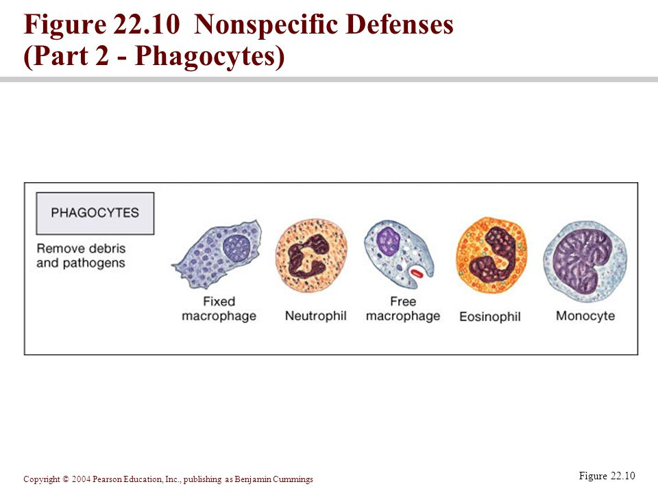 Copyright © 2004 Pearson Education, Inc., publishing as Benjamin Cummings Figure 22.10 Nonspecific Defenses (Part 2 - Phagocytes) Figure 22.10