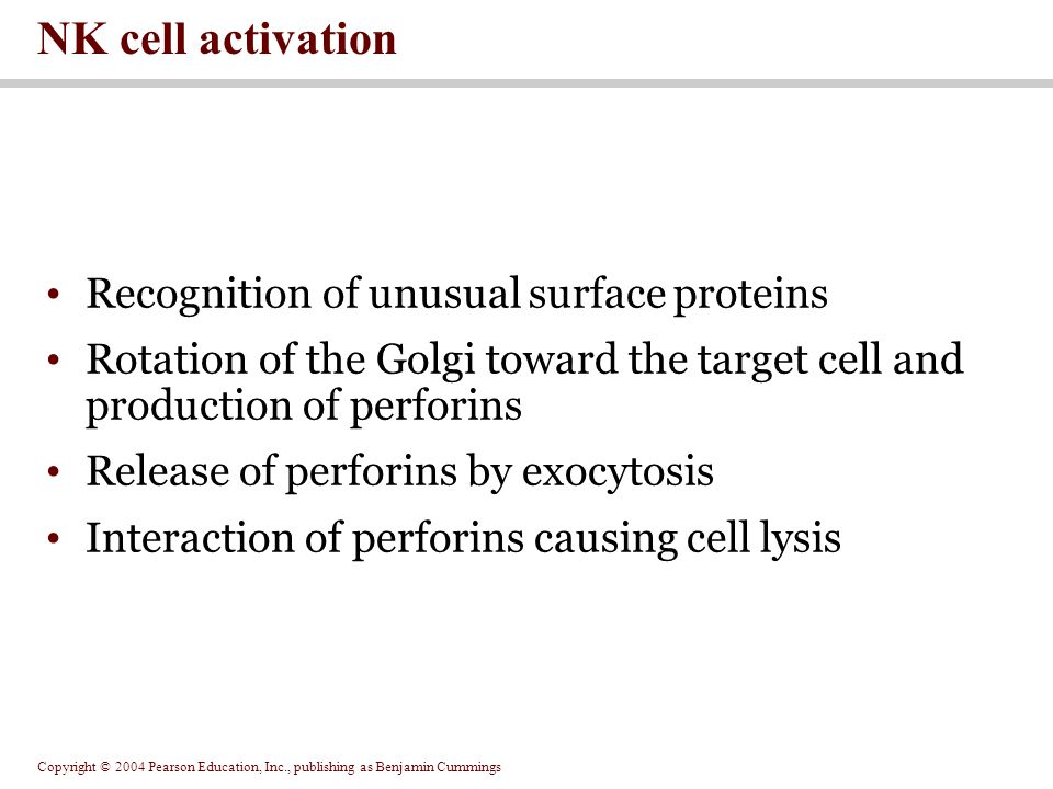 Copyright © 2004 Pearson Education, Inc., publishing as Benjamin Cummings NK cell activation Recognition of unusual surface proteins Rotation of the Golgi toward the target cell and production of perforins Release of perforins by exocytosis Interaction of perforins causing cell lysis
