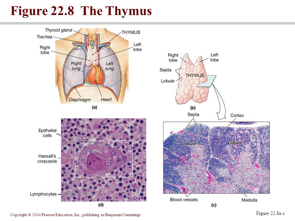 Copyright © 2004 Pearson Education, Inc., publishing as Benjamin Cummings Figure 22.8 The Thymus Figure 22.8a-c