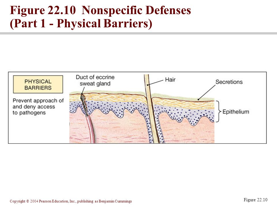 Copyright © 2004 Pearson Education, Inc., publishing as Benjamin Cummings Figure 22.10 Figure 22.10 Nonspecific Defenses (Part 1 - Physical Barriers)