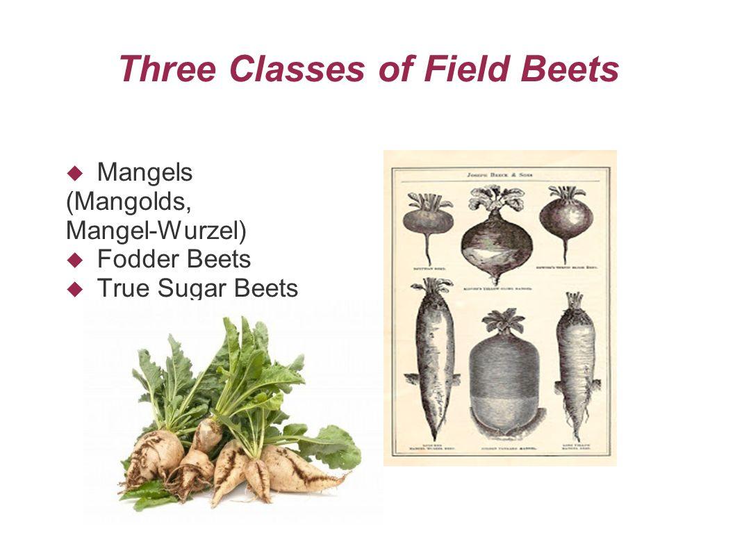 Three Classes of Field Beets  Mangels (Mangolds, Mangel-Wurzel)  Fodder Beets  True Sugar Beets