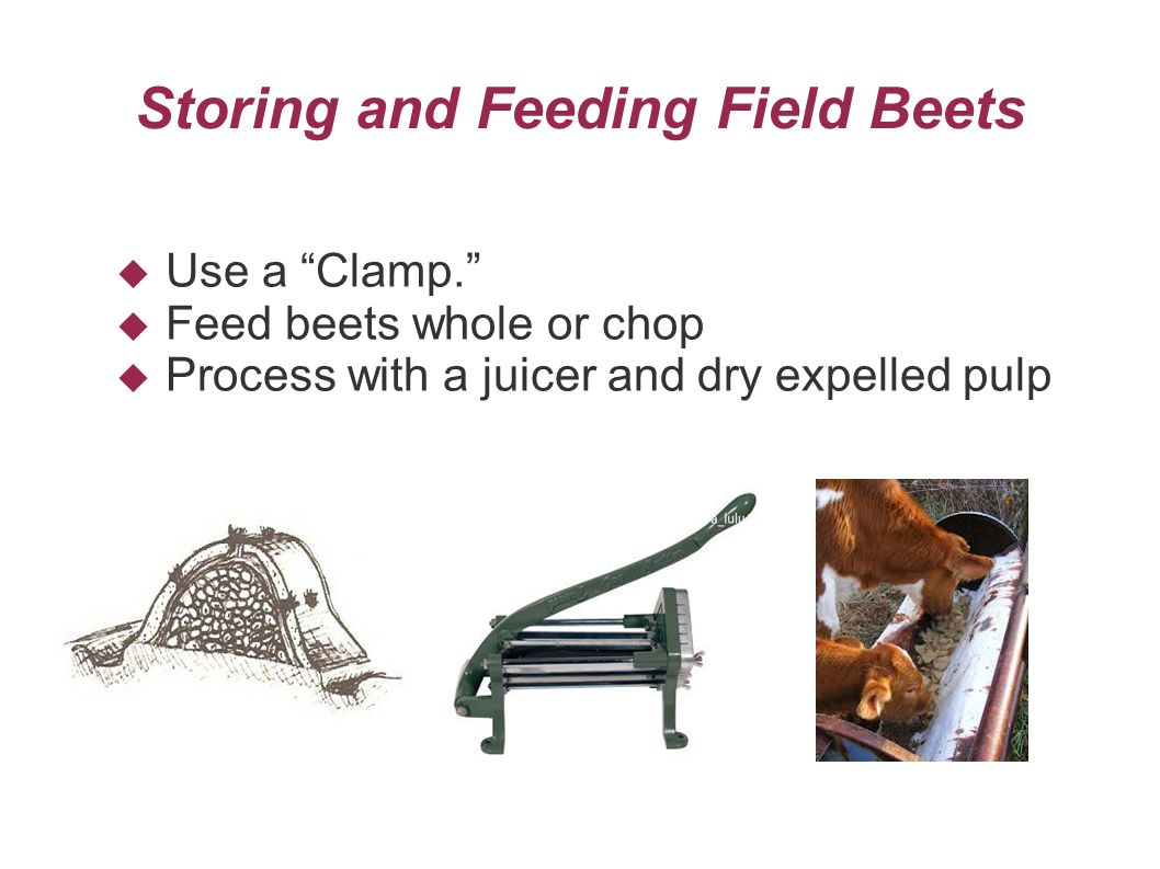 Storing and Feeding Field Beets  Use a Clamp.  Feed beets whole or chop  Process with a juicer and dry expelled pulp