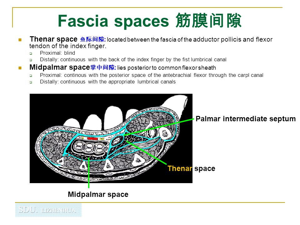 Fascia spaces 筋膜间隙 Thenar space 鱼际间隙 : located between the fascia of the adductor pollicis and flexor tendon of the index finger.  Proximal: blind 