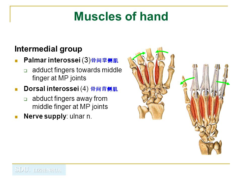 Muscles of hand Intermedial group Palmar interossei (3) 骨间掌侧肌  adduct fingers towards middle finger at MP joints Dorsal interossei (4) 骨间背侧肌  abduct