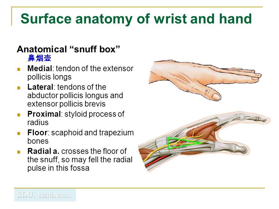"Surface anatomy of wrist and hand Anatomical ""snuff box"" 鼻烟壶 Medial: tendon of the extensor pollicis longs Lateral: tendons of the abductor pollicis l"