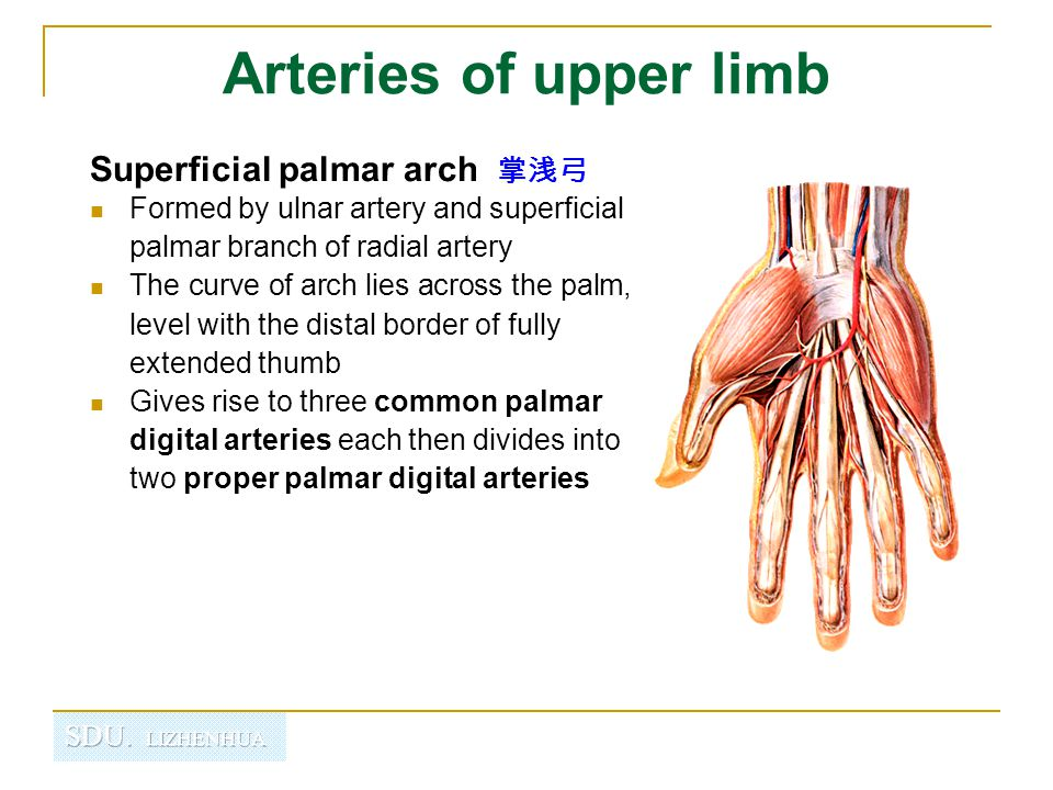 Arteries of upper limb Superficial palmar arch 掌浅弓 Formed by ulnar artery and superficial palmar branch of radial artery The curve of arch lies across