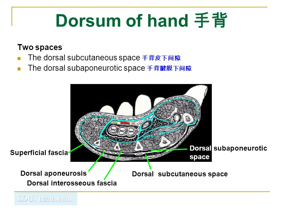 Dorsum of hand 手背 Two spaces The dorsal subcutaneous space 手背皮下间隙 The dorsal subaponeurotic space 手背腱膜下间隙 Superficial fascia Dorsal aponeurosis Dorsal