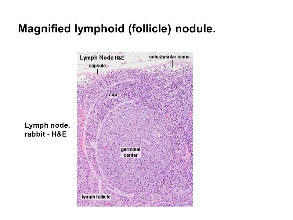 Magnified lymphoid (follicle) nodule. Lymph node, rabbit - H&E